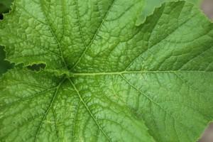 pompoenblad