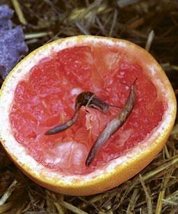 Grapefruits zijn goede slakken-vangers